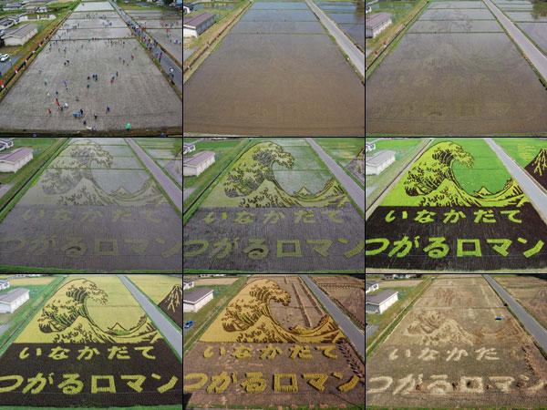 Paddy Art in Inakadate, Japan